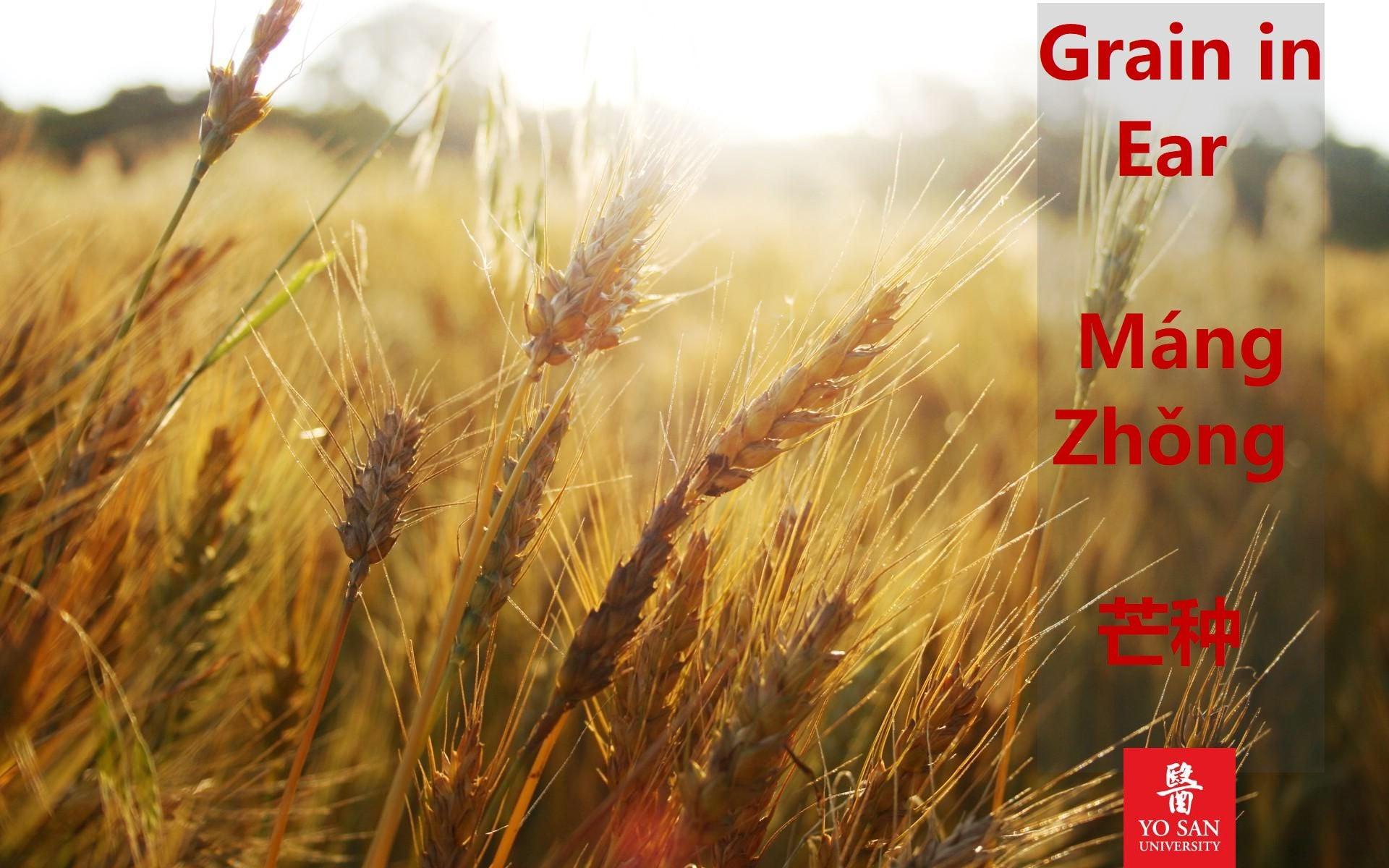 Grain in Ear 芒种 Máng Zhǒng